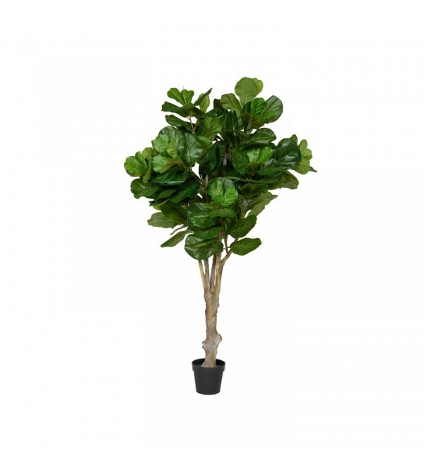 Ficus Lyrata L, Green (1)