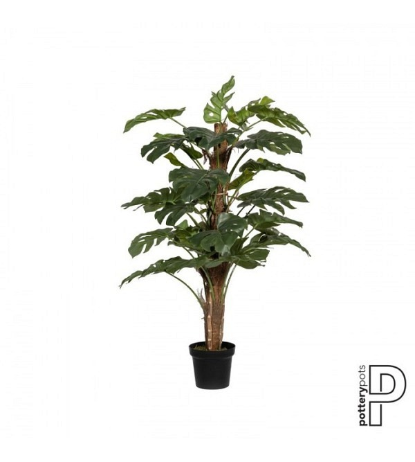 Monstera Pertusum L, Green (1)